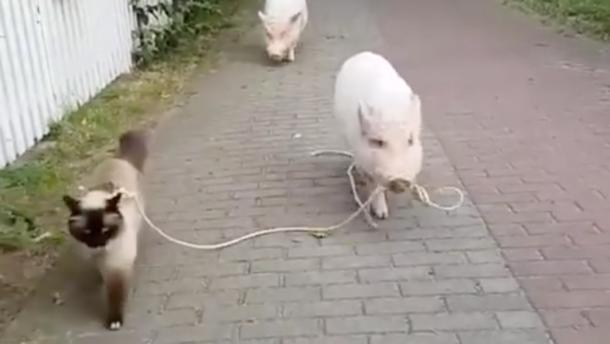 Napi cuki: így sétál malac és cica együtt