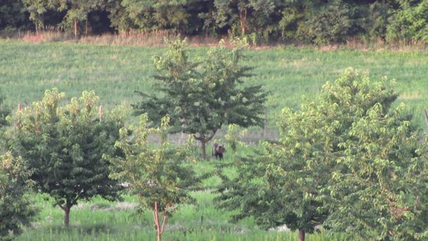 Cseresznyével és eperrel táplálkozik az ország medvéje (videó)