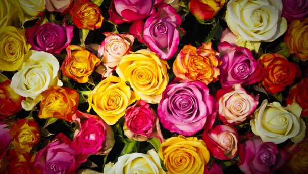 Újra rózsaünnepet rendeznek Szőregen a hétvégén