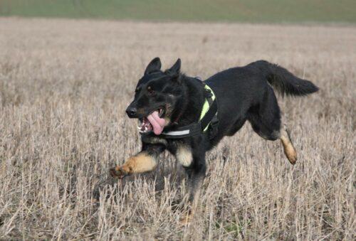 Nyugdíjba vonul Közép-Európa első méreg- és tetemkereső kutyája